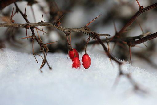 Snow, Winter, White, Barberry, Berry, Branch, Cold