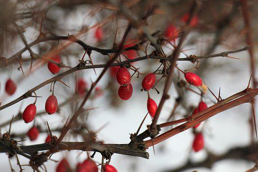 Winter, Bush, Barberry, Berry, Branch, Red, Nature