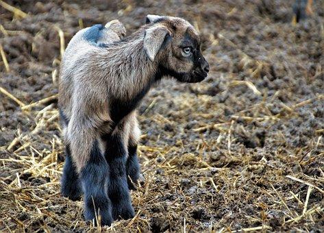 Sheep, Cameroon, Cub, Animal, Farm, Economy, Breeding
