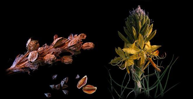 Junker Lily, Asphodeline Lutea, Goldwurz, Kapselfüchte