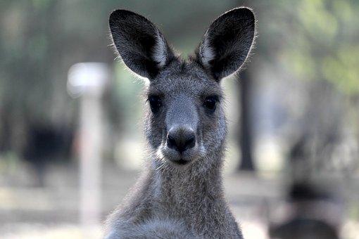 Kangaroo, Australia, Marsupial, Queensland, Furry
