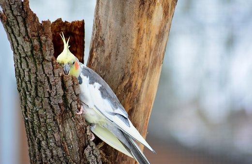 Cockatiel, Nature, Parakeet, Grey, Yellow, Bird
