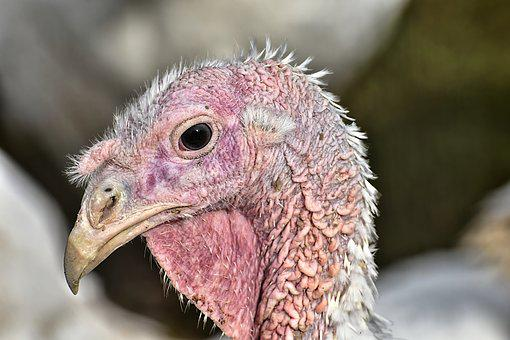 Turkeys, Birds, Poultry, Feather, Bird, Plumage