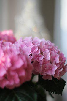 Hydrangea, Pink, Nature, Flower, Blossom, Bloom, Plant