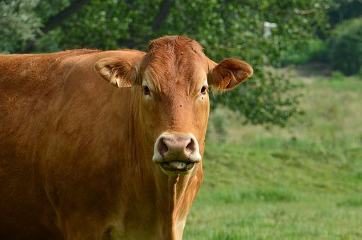 Cow, Mammal, Cattle, Farm, Agriculture, Breeding, Field