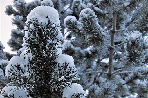 Christmas Tree, Coniferous, Frost, Snow, White, Frozen