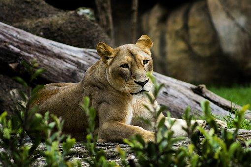 Leon, Zoo, Wild, Animals, Africa, Predator, Dangerous