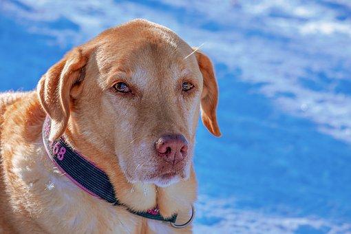 Dog, Snow, Portrait, Pet, Fur, Animal