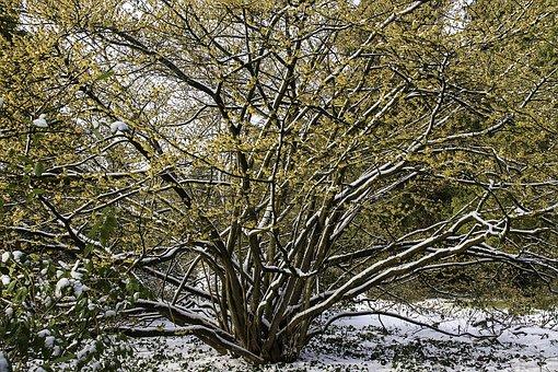 Witch Hazel, Hamamelis, Yellow, Flower, Winter, Snow