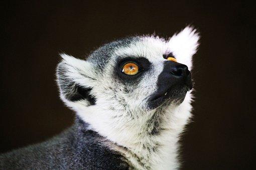 Lemur, Monkey, Primate, Expensive, Lemuren, Wildlife