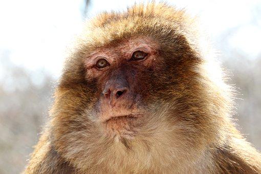 Barbary Ape, Brown, Monkey Mountain In Alsace, Monkey