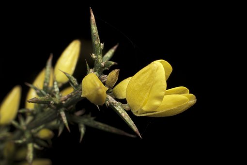 Yellow, Thorns, Nature, Plant, Flower, Thorny, Green
