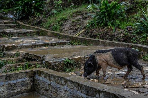 Sapa, Natural, Animal, Mountainous, Pig, Normal Life