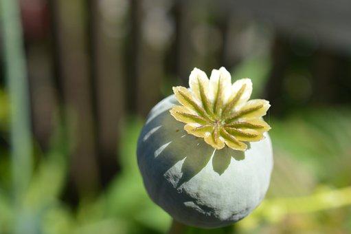 Poppy, Capsule, Mohngewaechs, Boll, Nature, Opium Poppy