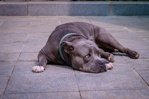 Dog, Tired, Lying, Bitbull, Pet