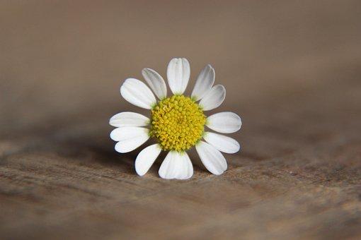 Daisy, Flower, Blossom, Bloom, Spring, Petals, Yellow