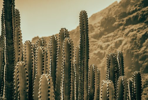 Cactus, Dry, Plant, Nature, Wilderness, Mountains
