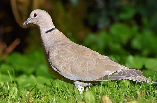 Dove, Ringdove, Bird, Animal, Foraging, Plumage