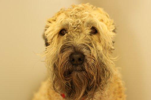 Dog, Terrier, Portrait