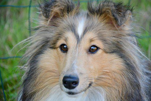 Dog, Shetland Sheepdog, Animal, Pet