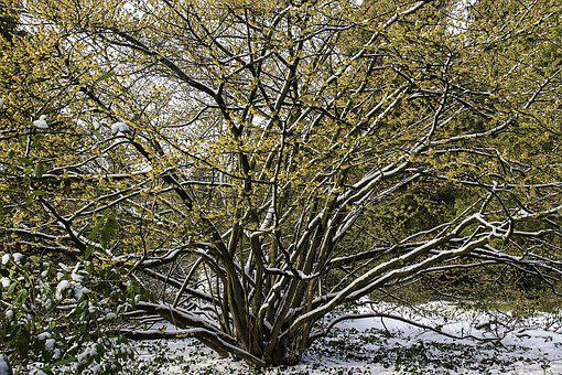 Witch Hazel, Hamamelis, Yellow, Flower, Winter, Snow