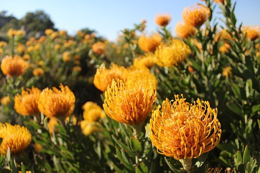 Fynbos, South Africa, Flowers, Plants, Nature, Mountain
