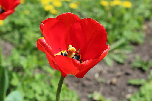 Red Tulip, Core, Macro, Krupnyj Plan, Flower, Spring