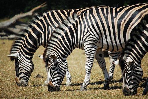 Zebra, Animal, Stripes, Zoo, Natural, Wild, Wildlife