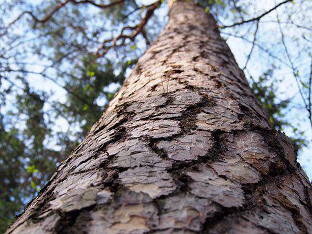Tree, The Bark, Forest, Pine, Nature, Wood, Needles