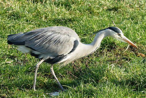 Heron, Ditch, Whey, Babu, Feathers, Nature, Pry