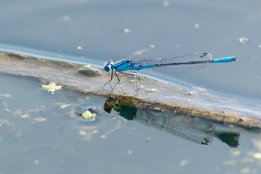 Damselfly, Pond, Nature, Insect, Wildlife, Summer