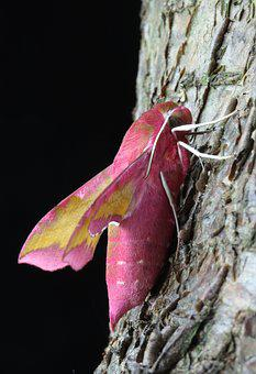 Small Elephant Hawkmoth, Hawkmoth, Wings, Moth, Insects