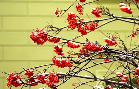 Rowan, Tree, Winter, Berries, Branch, Nature, Red