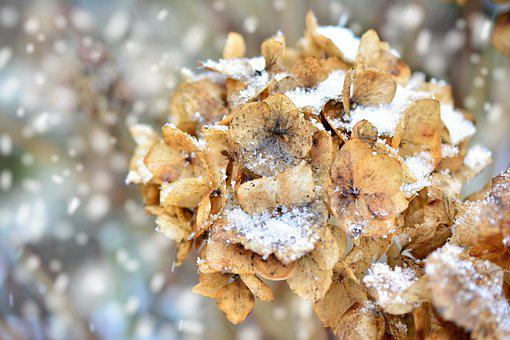 Hydrangea, Winter, Faded, Snowy, Nature, Flower, Snow