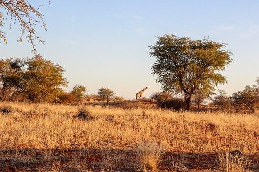 Giraffe, Nature, Africa, Safari, Wildlife, Landscape