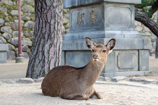 Deer, Sika Deer, Miyajima, Mammal, Animal, Herbivore