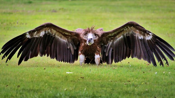 Vulture, Bird, Animal, Nature, Scavengers, Plumage