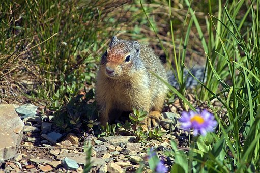 Columbia Ground Squirrel, Rodent, Animal, Cute, Nature