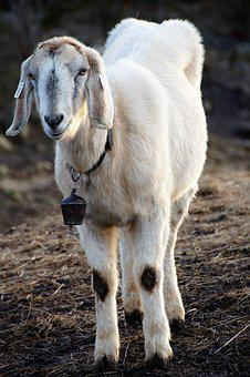 Sheep, Cameroon, Farm, Lamb, White, Animal, Countryside