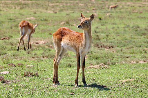 Lechwe, Antelope, Marsh Antelope, Africa, Mammal