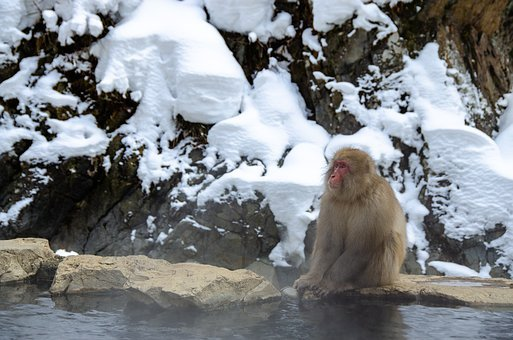 Snow Monkey, Japanese Macaque, Japan, Winter, Bathing