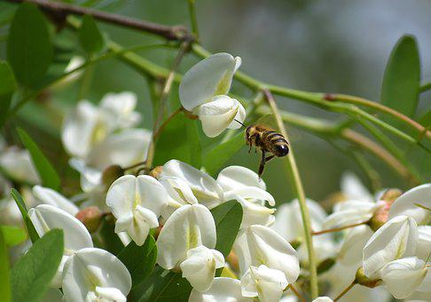 Bee, Honey Bees, Insect, Pollination, Flowers