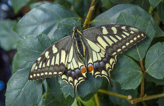 Swallowtail, Butterfly, Wings, Insect, Nature, Wildlife