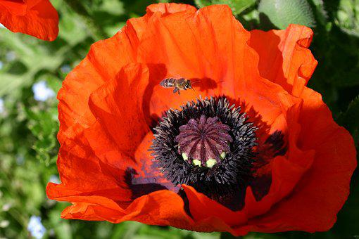 Poppy, Close Up, Klatschmohn, Farbenpracht, Garden