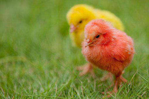 Chicks, Colorful, Nature, Cute, Easter, Chicken, Chick