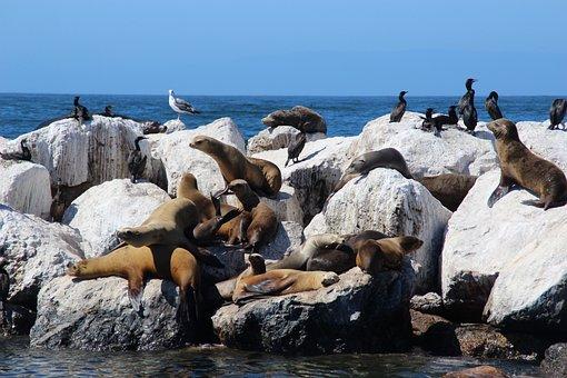 Sea Lions, Crawl, Seerobbe, Water Creature
