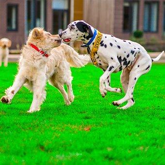 Golden Retriever, Dalmatian, Dog, Play Fight