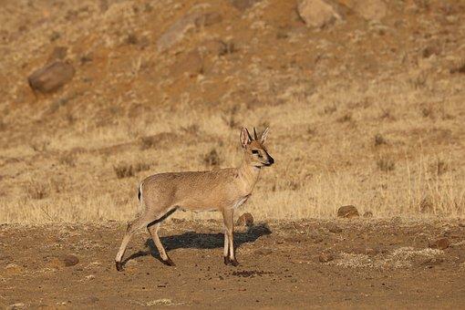 Duiker, Antelope, Animal, Males, Africa, Nature, Mammal