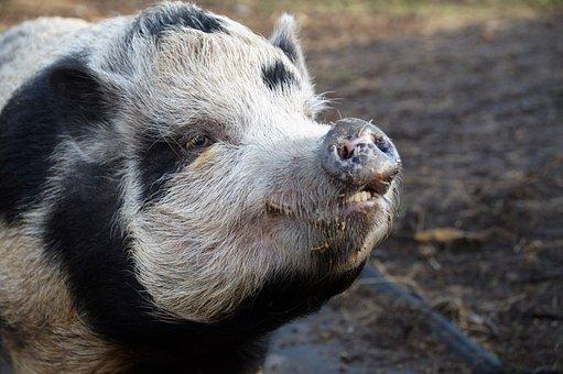 Pig, Spotted, Farm, Economic, Animal, Farmhouse