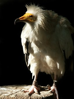 Egyptian Vulture, Raptor, Bird, Vulture, Nature, Animal